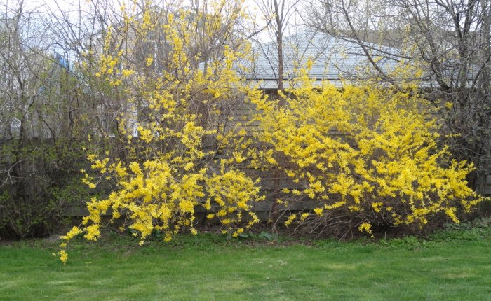 Forsythia and Offspring